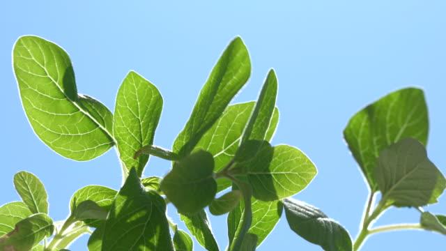 4k video av grön sesam växt på klarblå himmel - selimaksan bildbanksvideor och videomaterial från bakom kulisserna