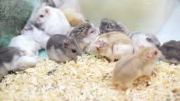 Video of Hamsters playing and eating together