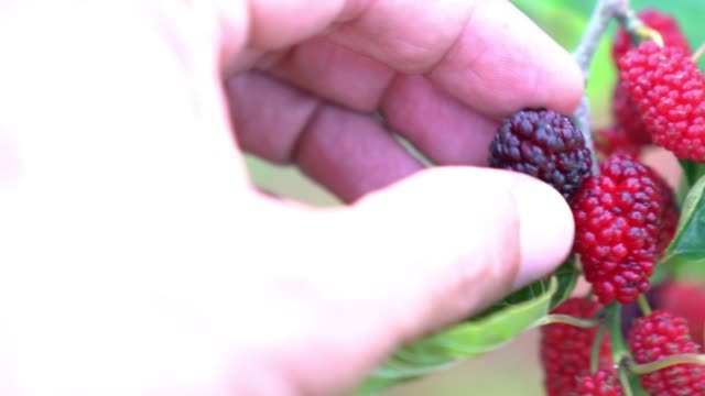 uhd-video von human hand picking mulberry fruit from tree - selimaksan stock-videos und b-roll-filmmaterial