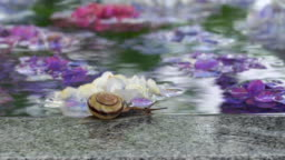 Video of hydrangea and snail in the rain
