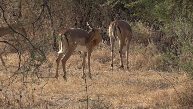 video of impala antelopes in tarangire national park. - kleine gruppe von tieren stock-videos und b-roll-filmmaterial