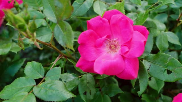video of landscaping roses up close - invertebrate stock videos & royalty-free footage