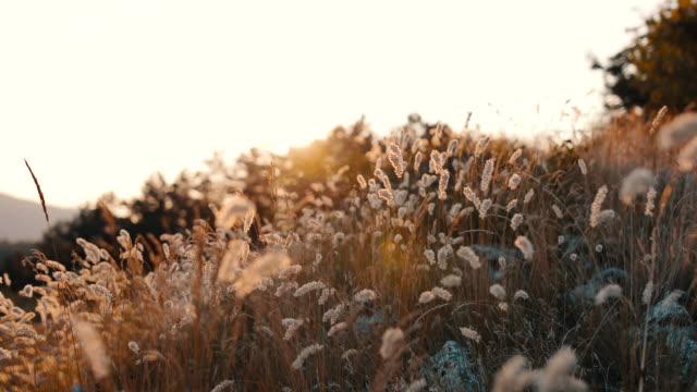 vidéos et rushes de vidéo des fleurs d'herbe de pré - douceur