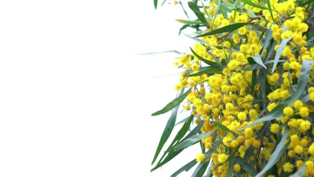 UHD Video Of Mimosa Flowers In Wind On White Background