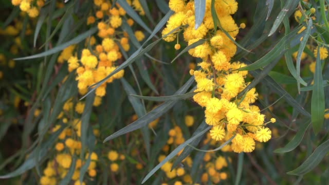 UHD Video Of Mimosa Flowers In Wind