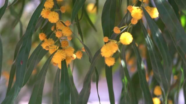 4k video of mimosa flowers in wind - selimaksan stock videos & royalty-free footage