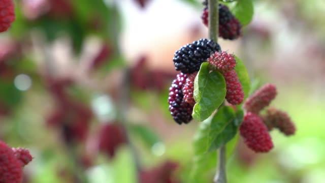 uhd-video von maulbeerbaum - selimaksan stock-videos und b-roll-filmmaterial