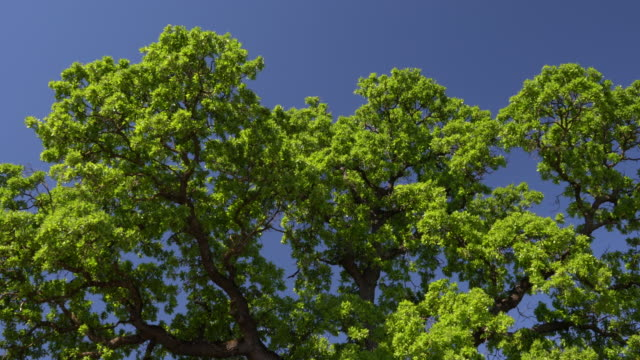 uhd video of oak tree branches swaying in breeze - selimaksan stock videos & royalty-free footage
