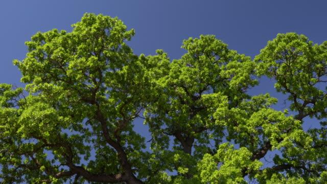 stockvideo's en b-roll-footage met uhd video van eikenboom takken wuivende in breeze - selimaksan