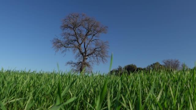 uhd video of oak tree in wind - selimaksan stock videos & royalty-free footage