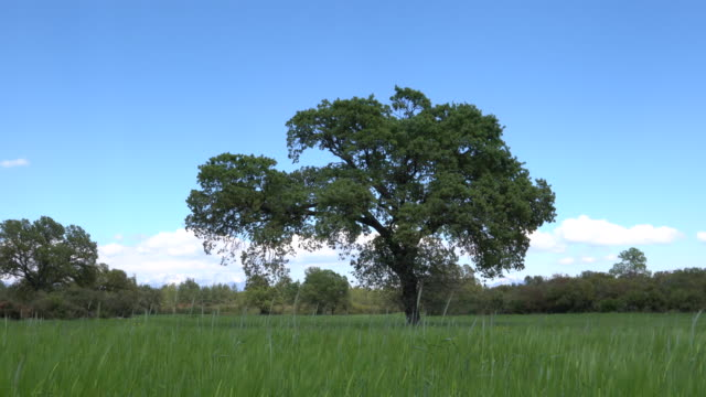 uhd video of oak tree in wind - oak stock videos and b-roll footage