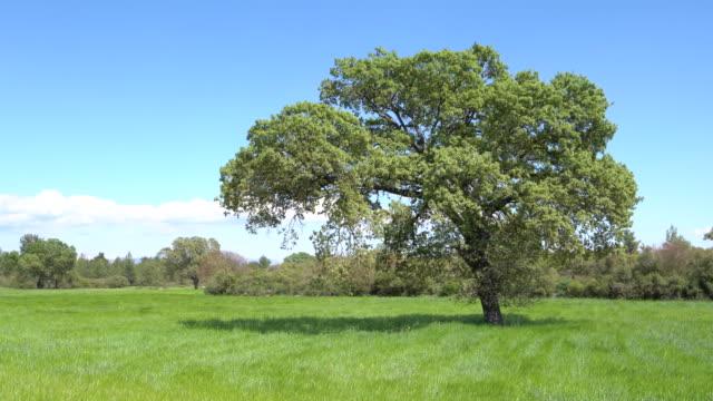 vídeos de stock, filmes e b-roll de vídeo uhd da árvore de carvalho no vento - large