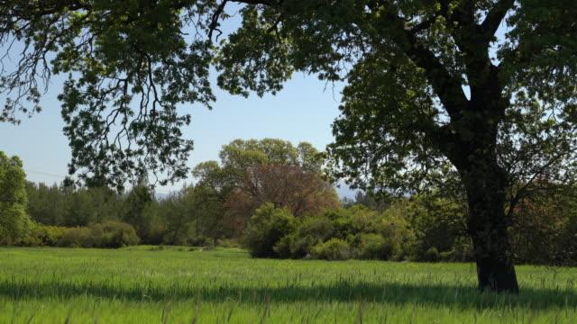 uhd video of oak tree in wind - selimaksan video stock e b–roll