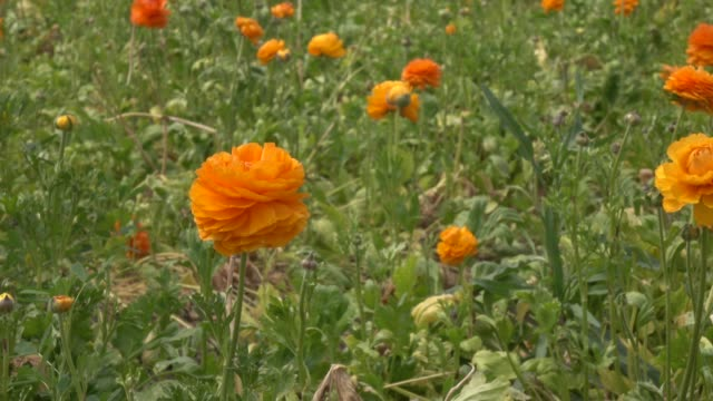uhd video of orange ranunculus flower in garden - ranunculus stock videos & royalty-free footage