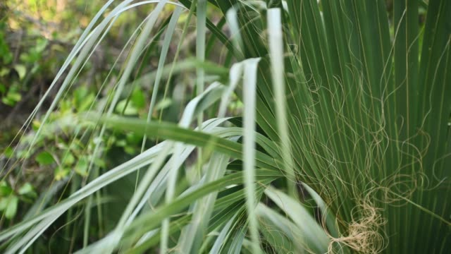 video of palm leaf in  everglades national park in florida usa - frond stock videos & royalty-free footage