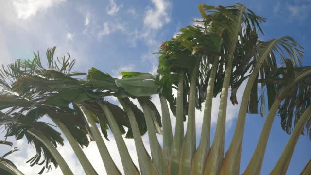 4K Video van palmboom bewegen met de Wind tegen blauwe hemel