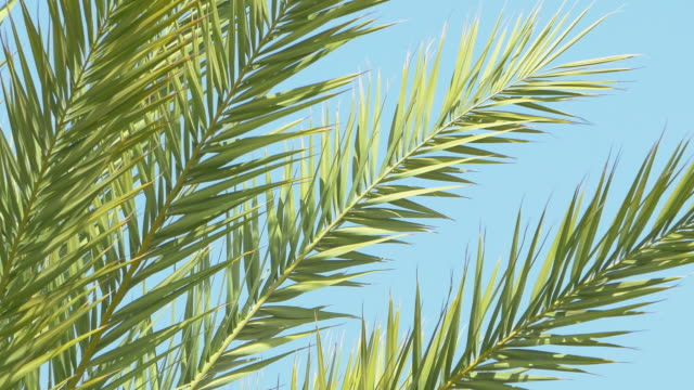 video of palm tree on a blue sky in 4k - palm leaf stock videos & royalty-free footage