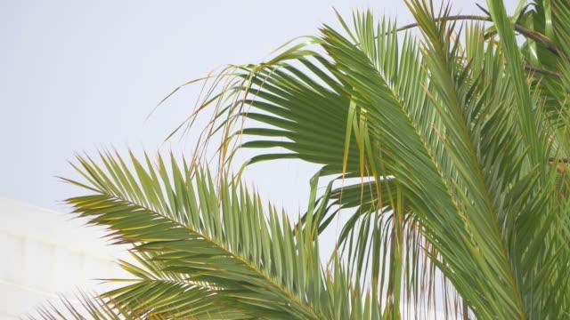 vídeos de stock e filmes b-roll de vídeo de palmeira sobre o céu azul em 4k - folha de palmeira