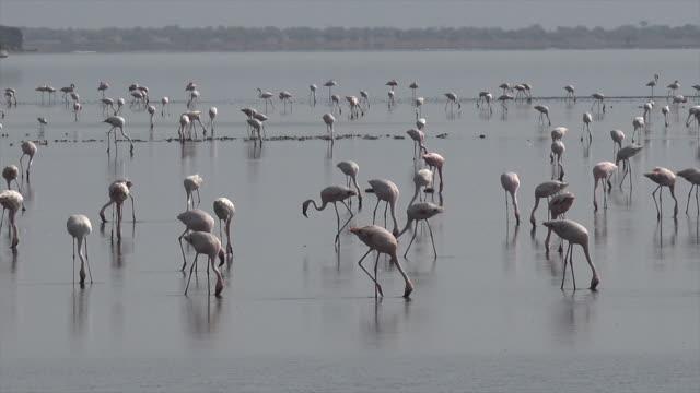 video of pink flamingoes in lake natron, tanzania. - flamingo bird stock videos & royalty-free footage