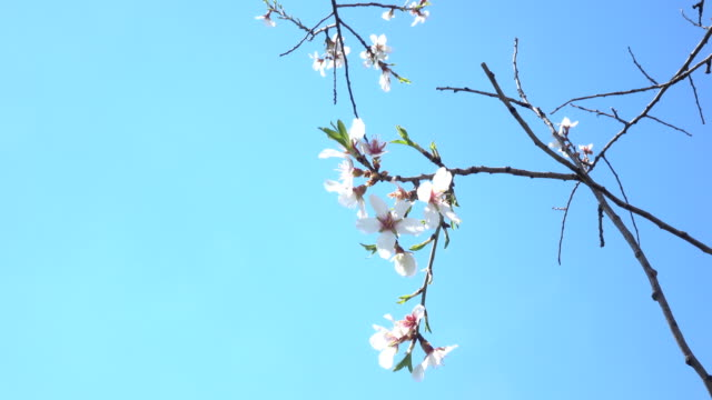 uhd video of plum tree branches with fruit flowers on blue sky - selimaksan stock videos & royalty-free footage
