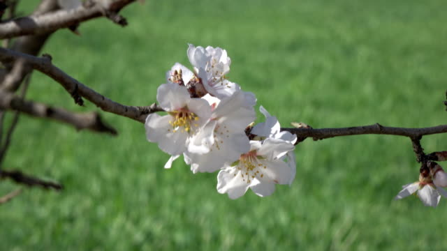 uhd video of plum tree branches with fruit flowers on green grasses - selimaksan stock videos & royalty-free footage