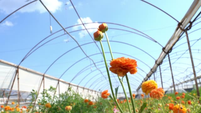 stockvideo's en b-roll-footage met uhd video van ranunculus bloemen in wind - ranonkel