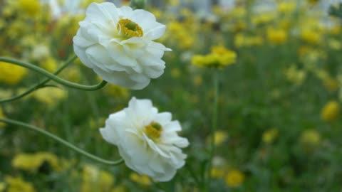 uhd video of ranunculus flowers in wind - ranunculus stock videos & royalty-free footage