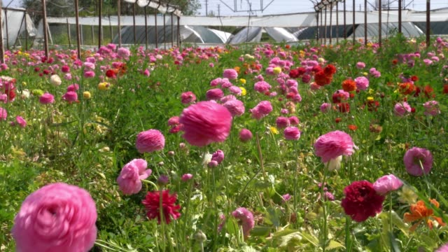 uhd video of ranunculus flowers in wind - ranunculus stock videos & royalty-free footage
