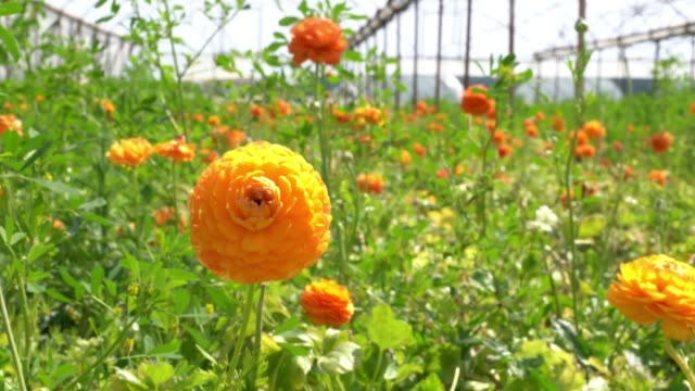 UHD Video Of Ranunculus Flowers In Wind