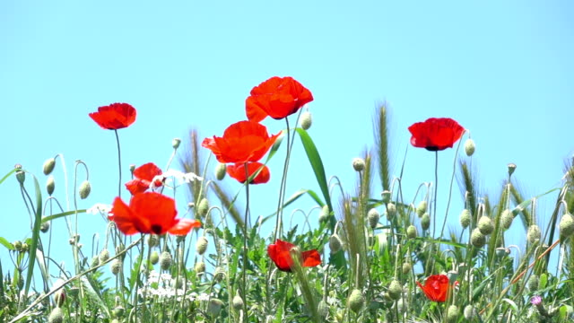 Video Of Red Poppies On Blue Sky