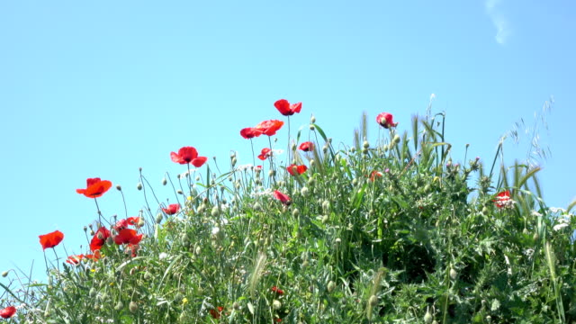 UHD Video Of Red Poppies On Blue Sky