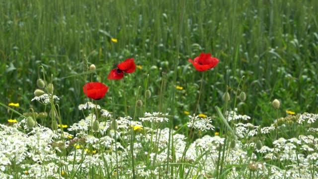 UHD Video Of Red Poppy Flower