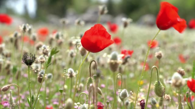 uhd video of red poppy flower - selimaksan stock videos & royalty-free footage