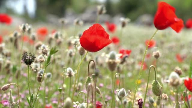vídeos de stock e filmes b-roll de uhd video of red poppy flower - selimaksan