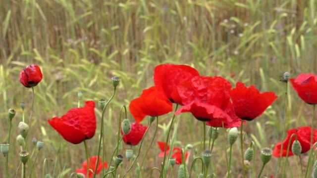 4k video of red poppy flowers swinging in wind - selimaksan stock videos & royalty-free footage