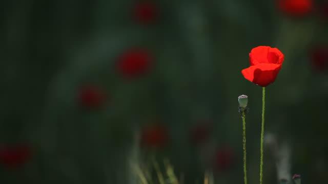 hd video of red poppy swinging in spring wind - selimaksan stock videos & royalty-free footage