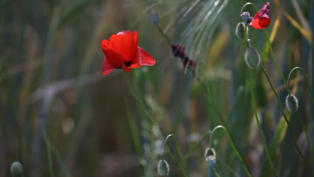 HD Video OF Red poppy swinging In Spring Wind