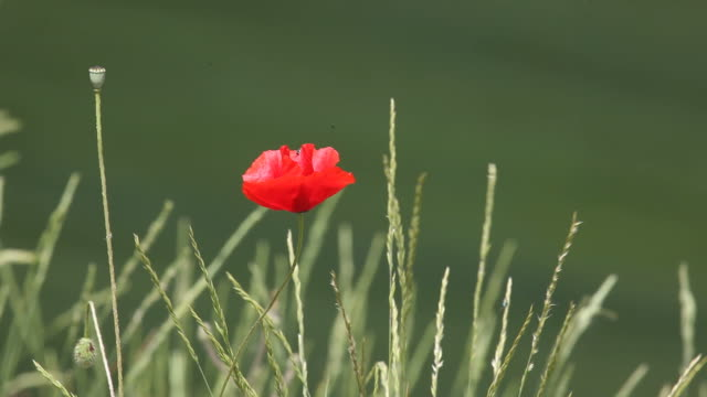 hd video of red poppy swinging in spring wind - selimaksan stock videos & royalty-free footage