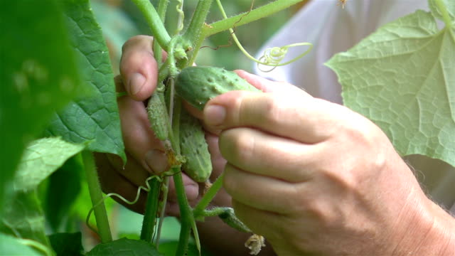 Video of senior man picking fresh cucumber-real slow motion