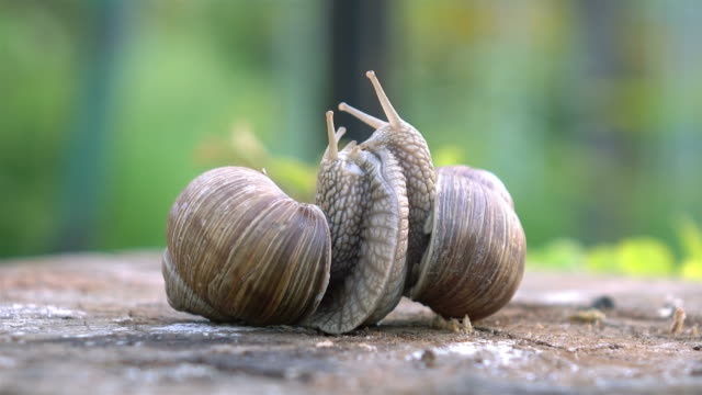 video of snails love in 4k - snail stock videos & royalty-free footage