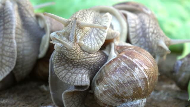 vidéos et rushes de des vidéos en 4 k escargots amour - accouplement animal