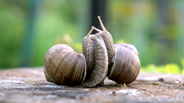 video of snails love in 4k - animal antenna stock videos & royalty-free footage