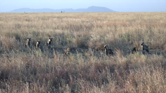 video of spotted hyenas in serengeti national park, tanzania. - group of animals stock videos & royalty-free footage