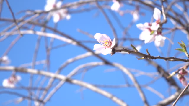 uhd video of swinging apricot flower on clear blue sky - selimaksan video stock e b–roll
