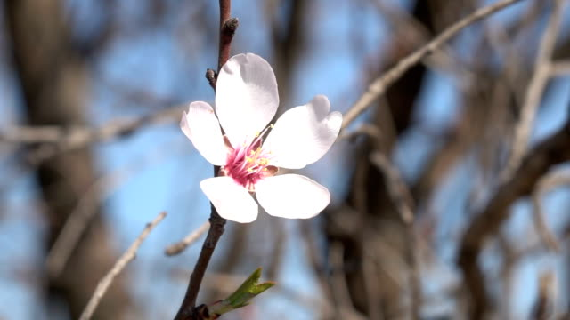 hd video of swinging apricot flower on clear blue sky - selimaksan stock videos & royalty-free footage