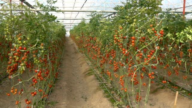 HD Video Of Tomato Greenhouse