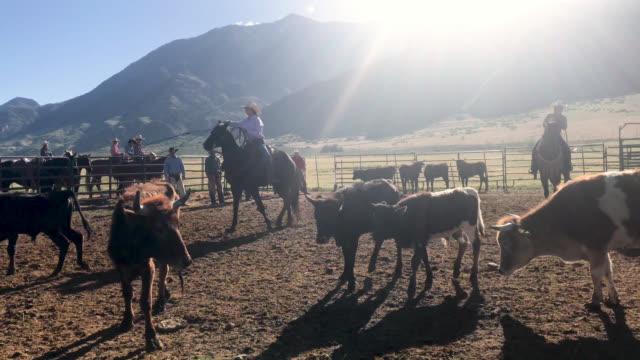 vídeos de stock, filmes e b-roll de vídeo de utah cowboys montando cavalos e gado de pastoreio de gado no oeste ao ar livre para um rodeio stampede roundup de branding - arrebanhar