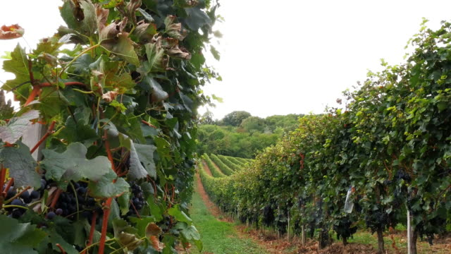 Video of vineyard with red grapes
