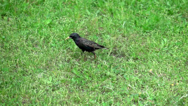 Video of walking starling in real slow motion
