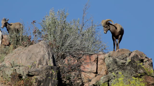 hd video of wild bighorn sheep on mountain top, colorado - bighorn sheep stock videos & royalty-free footage